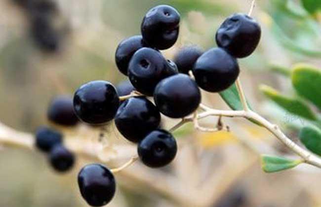 黑枸杞种植技术