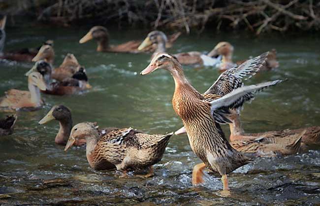 三穗鸭养殖技术