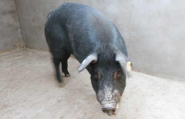 八眉猪养殖技术