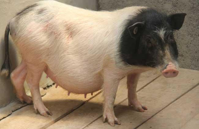 五指山猪养殖技术