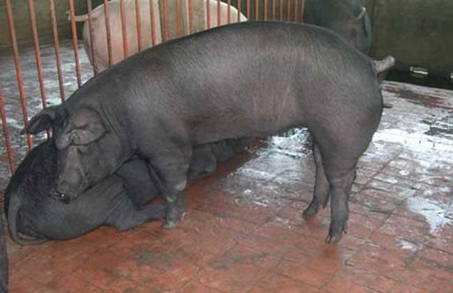 太湖猪养殖技术